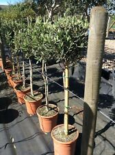 Olive Tree - Olea europaea - Height At Dispatch 80-85cm (excluding pot).