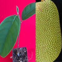 Cempedak Chempedak Artocarpus Integer Tropical Fruit Potted Tree Plant