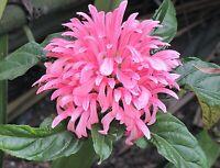"Justicia carnea Brazilian Plume Flamingo Flower  2.5/"" potted Plant FREE SHIP"