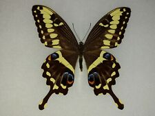 Papilio ophidicephalus ssp. phalusco South Africa Framed Butterfly Riker Mount
