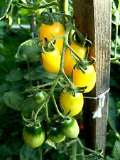 "TOMATE  ""gelbe Dattelwein"" Cocktail-Tomaten an langen Rispen, Stabtomate"