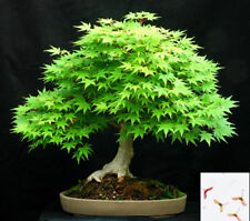 JAPANESE MAPLE - Acer Palmatum - 15 SEEDS - Perfect bonsai #746