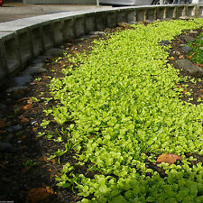 SeedRanch Dichondra Repens Seed - 2 lbs. (Covers 1000 sq. ft.)