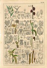1842 CELTIS ULMUS FAGUS PLANTS FLOWERS Antique Hand Color Print Petermann