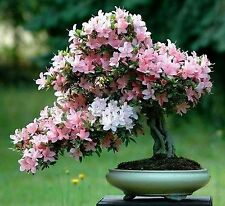 bonsai seeds five seeds of Bonsai sakura tree home grow flowers