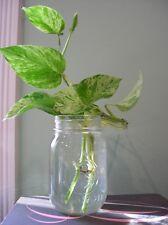 "Devil's ivy ~ Epipremnum aureum ~ Golden pothos ~ ""clean air"" indoor plant"