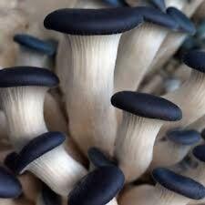 Blue Oyster mushrooms Real naturall mushroom seeds spores $9.90