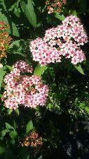 Vitex Pink Bush 4-6 Ft Large Plant Trees Flowers Shrub Grow Now Plants Garden