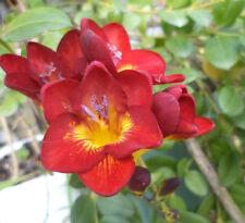 "FREESIA ""MIXED"" Yellow, red, purple white & more Flower x 40 bulbs -BULK SALE"