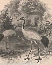 Antique print japanese bird / Red-crowned crane Grus japonensis Japan 1860