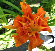 5 DAYLILY KWANSO DOUBLE ORANGE PERENNIAL PLANTS LIVE ROOTS /BONUS-SPRING DAY LY