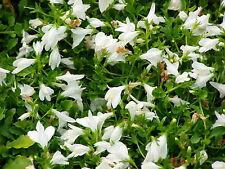 Mazus reptans Alba 6 Plants in 3-1/2 inch Pots