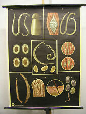 School Wall Mural Wall Picture Image gut intestinal parasites parasites Tapeworm Worms 81x110
