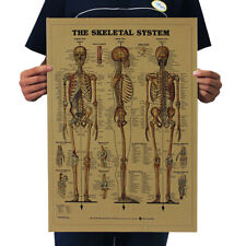 Vintage The Human Skeleton Photo Picture Anatomy Skeletal System Poster Paper