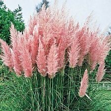 200 Pampas Grass Pink