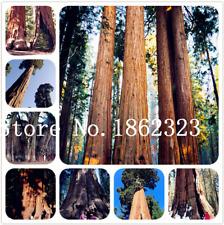 Giant Redwood Bonsai 50 Pcs Seeds Evergreen Shrubs Tree Plants Home Garden New X