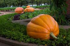 Pumpkin GIANT PUMPKIN- SHOW & COMPETITION PACK- 4 VARIETIES- 20 BIG SEEDS
