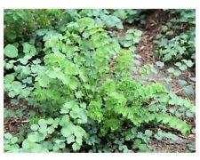 Pimpernelle Sanguisorba minor Kleiner Wiesenknopf Gurkenkraut Pimpinelle
