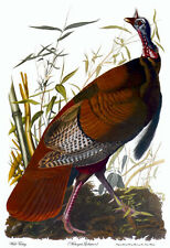 Audubon Wild Turkey 30x44 Hand Numbered Edition Art Print