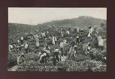Ceylon Sri Lanka TEA INDUSTRY social history Plucking tea c1920/30s? RP PPC