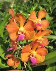 Vanda V.denisoniana x Wilas Orchid plant Blooming size pot 3.5