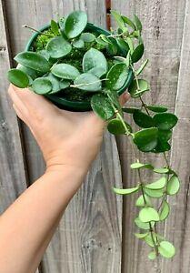 Hoya Mathilde ESTABLISHED - Collection No: 134 - RARE Indoor Outdoor Wax Plant
