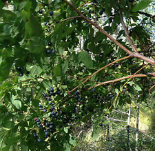 Maine Wild High Bush Blueberry Seeds Quantity: 100+ in package
