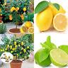 Hot 10Pcs Rare Lemon Seed Tree Garden Indoor Outdoor Bonsai Heirloom Fruit Seeds