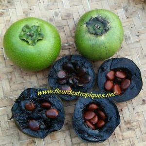 Diospyros digyna / Sapote Noire - lot de 5 graines