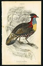 1850 Tragopan Horned Pheasant, Hand-Colored Antique Engraving Print - Lizars
