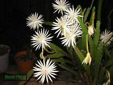 Orchid Cactus white Epiphyllum Strictum rooted plant
