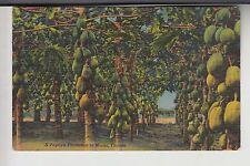A Papaya Plantation in Miami FL Florida