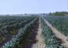 1926, Large Vineyard Near Decatur, Michigan, Magic Lantern Glass Photo Slide
