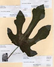 NERO 600M fig tree- 3 cuttings- cold tolerant in zone 6
