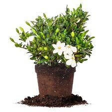 Kleims Hardy Gardenia, Live Plant, Size: 1 Gallon