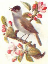 BIRDS. Blackcap  1901 old antique vintage print picture