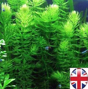 6 Stem Hornwort Ceratophyllum Demersum FLOATING Oxygenating Aquatic Plant UK
