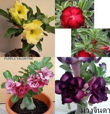 "Adenium Obesum Desert Rose ""Mixed 4 Type"" 4 Grafted Plants Fresh"
