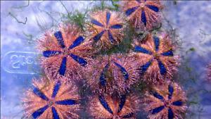 (5 pack) Blue tuxedo urchins