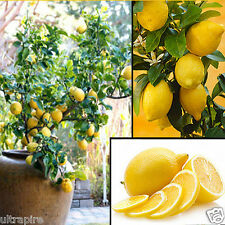 10x Lemon tree Seeds Heirloom Garden Tree Outdoor Fruit Indoor Rare Organic Seed