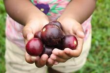 RED GIANT SCUPPERNONG/MUSCADINE GRAPE*7 SEEDS Sweet Large Easy To Grow Tasty