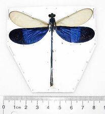 ONE REAL BLUE CLEAR WINGS DRAGONFLY DAMSELFLY NEUROBASIS KAUPI PAPERED PACKAGED