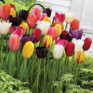 200 Pcs Tulip Beautiful Flowers Seeds Bulbs-Spectacular Mix Colors Spring Flower