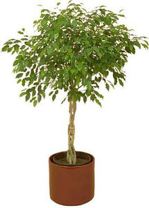 30 FICUS TREE Bodhi Sacred Fig Ficus Religiosa Seeds