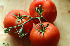 A 0.2g (approx. 30) tomato seeds FLORADADE multipurpose popular American variety