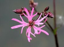 Ragged Robin (Lychnis Flos Cuculi) x 50 seeds. Perennial Flower. Gift in store.