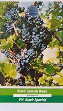 Black Spanish Grape Vine 3 gal Plants Vines Plant Grapes Vineyards Home Garden