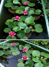 Rote Seerose : In einer kleinen Schale wird sie zum hübschen Bonsai ! Samen