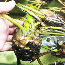 Nymphaea Purple Joy B2G1 White/Purple Tropical Water Lily Tuber Live Garden Pond