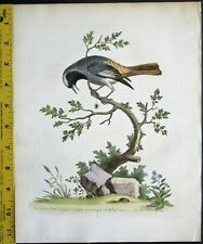 Edwards,Natural History,Grey Redstart,handc.Engraving,ca. 1741,#29